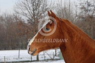 Gelders paard in de sneeuw