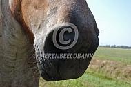 Neus van een trekpaard