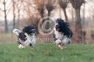 Nederlandse schapendoes