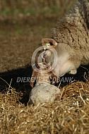 Kempisch heideschaap met net geboren lam