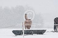 Paarden in de winter bij drinkbak
