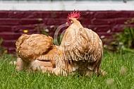 Cochin haan en hen (kriel)