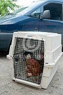 Vervoeren van kippen