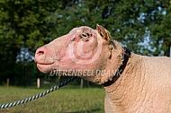 Charmoise schapen