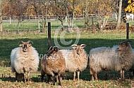 Drentse heideschapen in de herfst