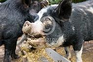 Hobbyvarken met ruwvoer