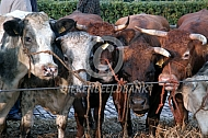 Koppel koeien op de veemarkt