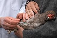 Vaccineren van een kip