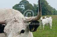 White Park cattle