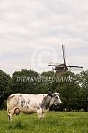Belgische Blauwe in de wei