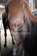 Paard met abces