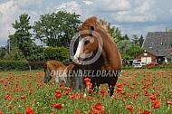 IJslander paarden met veulen tusseb de klaprozen