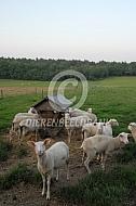 Fries melkschaap bij hooiruif