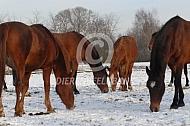 Uitgelaten Gelderse paarden in de sneeuw