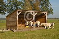 Wiltshire Horn in de Levende Have sleepstal