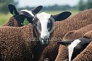 Jong zwartbles schaap