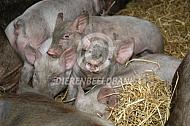 Scharrelvarkens in het stro
