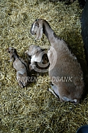 Nubische geit met lammeren