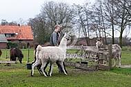 Lama naar de wei