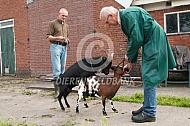 Voortplanting geit