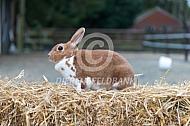 Minirex of kleinrex konijn (geel mantel bont)