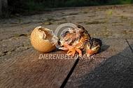 kuiken parelhoen net uit het ei