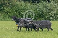 Gotland Pels ooi met lam