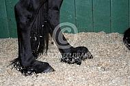Dwerggroei Fries paard