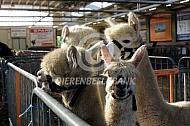 Tidens de alpacashow
