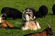 Nubische geiten met horens