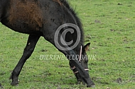 Veulen Fries paard