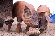 Biggen duroc eten brood