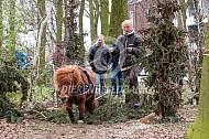 Wedstrijd boomslepen met shetlander