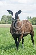Zeldzaam huisdierras het zwartbles schaap
