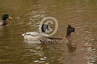 Zwanen eenden en ganzen