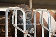 Lakenvelder stier met neusring