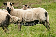 Badger Face Welsh Mountain schapen