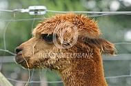 Close up alpaca (huacaya)