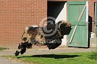 Springende bonte Walliser Schwarznase
