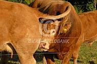 Limousin stier met tochtige koe