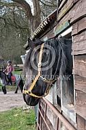 Fries paard op stal