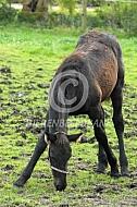 Veulen Fries paard graast