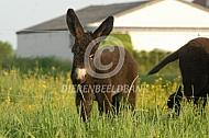 Poitou ezelveulen