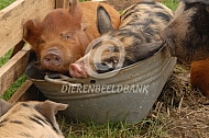 Kunekune biggen in waterbak