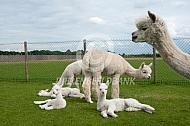 Alpaca met rustende cria's