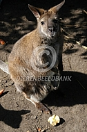 Bennet Wallabie