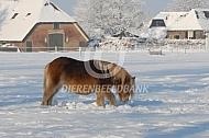 Shetlanderpony in de sneeuw