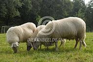 Bentheimer Landschaap ram met ooien
