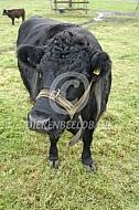 Dexter koe met halster