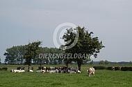 MRIJ koeien onder boom